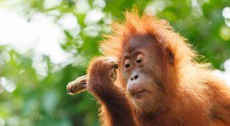 Orang-utan_Borneo